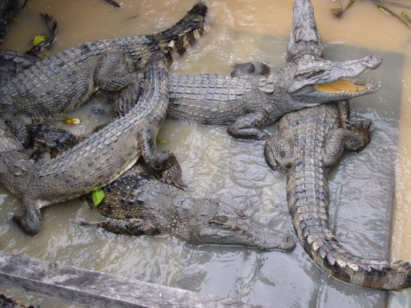 floating crocodile farm/breeding?